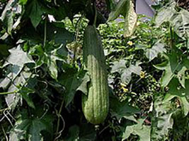 Sponge Gourd, Ridge Gourd, Snake Gourd, Turai, Tori, Turaiya, Gilki