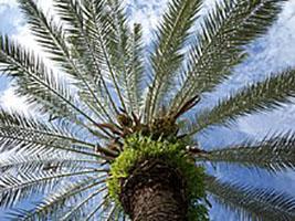 Buy Phoenix plant, Phoenix Canariensis - plant online at Nursery Nisarga