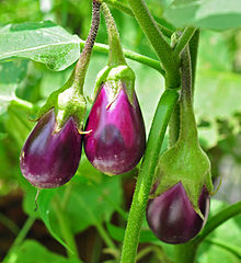 Brinjal, Eggplant, hybrid vegetable seeds