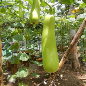 Calabash, bottle gourd, white-flowered gourd, long melon