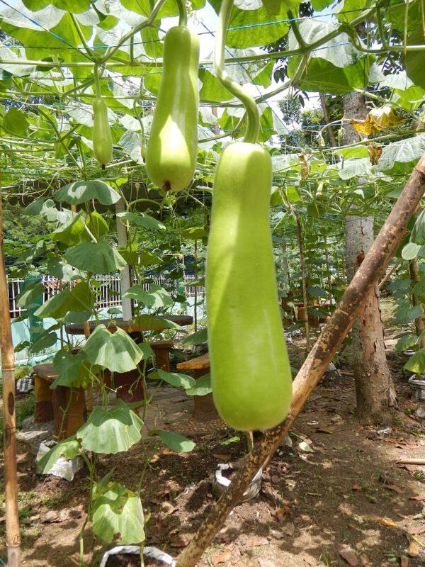Calabash, bottle gourd, white-flowered gourd, long melon