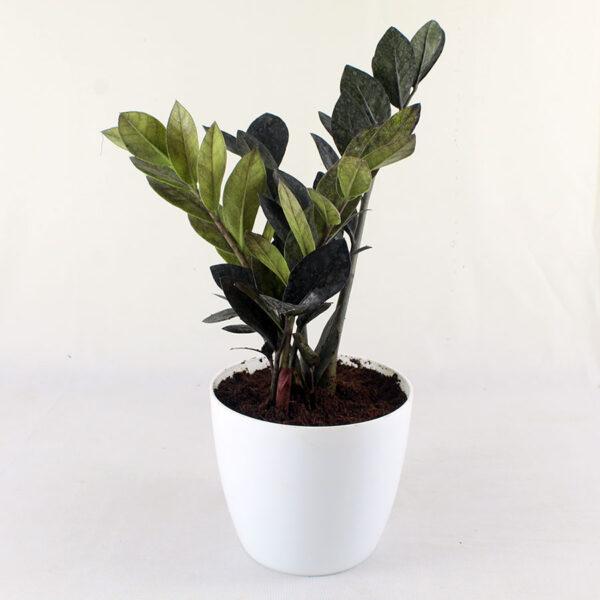 Buy Exotic Black ZZ Plant - Zamioculcas Black Raven zz Plant - Nursery Nisarga