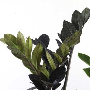 Buy Black Raven zz plant - Nursery Nisarga