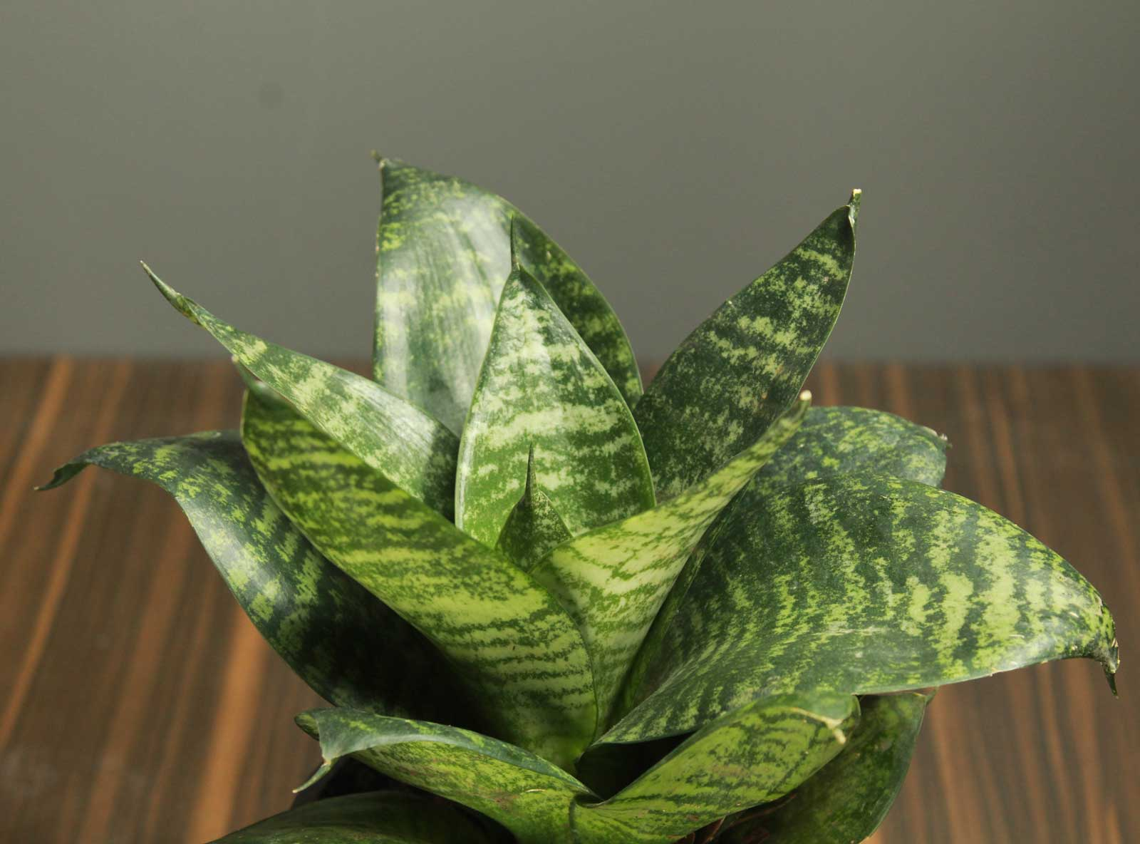 Buy Dwarf Snake Plant with Colour Pot | Indoor Plant ...