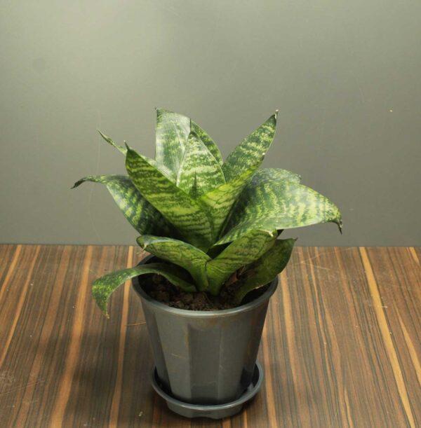 Dwarf Snake Plant with premium pot online - Nursery Nisarga