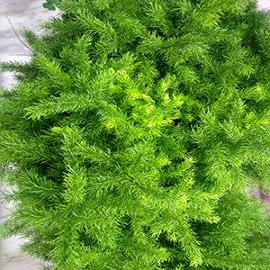 Foxtail Asparagus plant