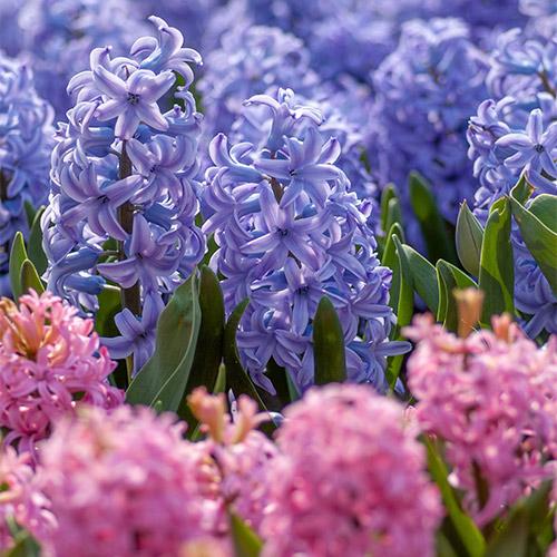 Buy Hyacinth Bulbs online at Nursery Nisarga