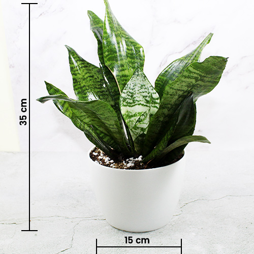 Buy Premium Sansevieria Robusta Plant online - Nursery Nisarga