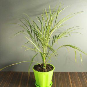 Phoenix palm, Phoenix Canariensis - plant