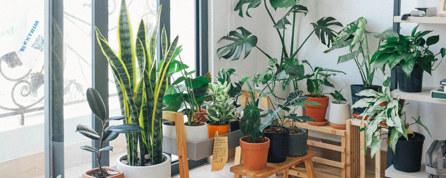 Best indoor plant for home, office, living room