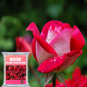 Buy Rose Food Fertilizer for Rose Plant - Nursery Nisarga