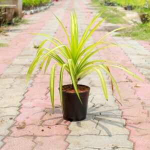 Buy Golden Pandanus (Golden Spider Plant)- online - Nursery Nisarga