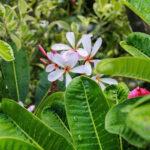 Buy Singapore Dwarf Champa – Plumeria pink and white shade , online - Nursery Nisarga