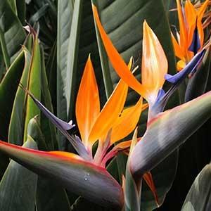 Buy bird of paradise - plant online at Nursery Nisarga