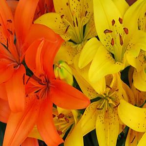 Buy Lillium flower Bulbs online - Nursery Nisarga