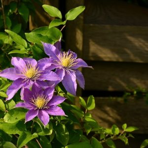 Buy Clematis plant available online