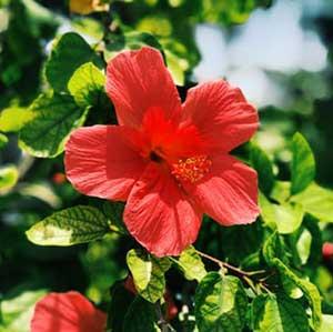 mini pink hibiscus
