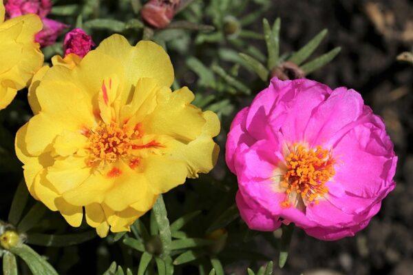 Buy Moss Rose - 10 o'clock, Portulaca plant online - Nursery Nisarga