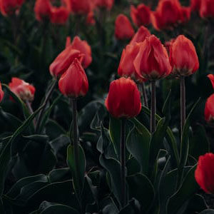 Buy Tulip bulbs online at Nursery Nisarga