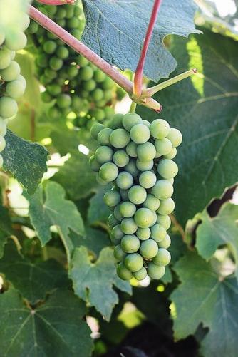 green grape creeper - plant