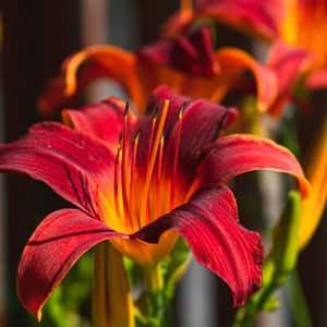 red lilium bulbs