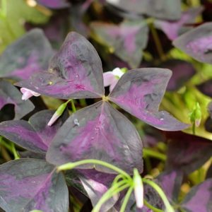 triangular clover, Butterfly Oxalis