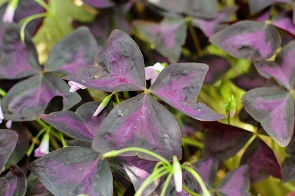 triangular clover, Butterfly Oxalis