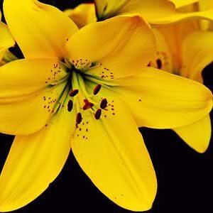 yellow lilium bulbs