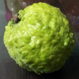 Buy Thai Guava, Grafted Guava, Amrud, Psidium guajav Plant - Nursery Nisarga