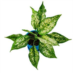 Aglaonema chinese green
