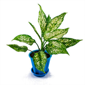 Aglaonema chinese green