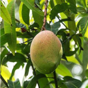 Buy Amrapali Mango Plant – Grafted Mango Tree - Nursery Nisarga