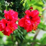 Buy Double Petal Hibiscus plant (Red color), Gudhal Double Petal - Nursery Nisarga