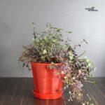 Buy Turtle vine, Creeping inchplant, Bolivian Jew
