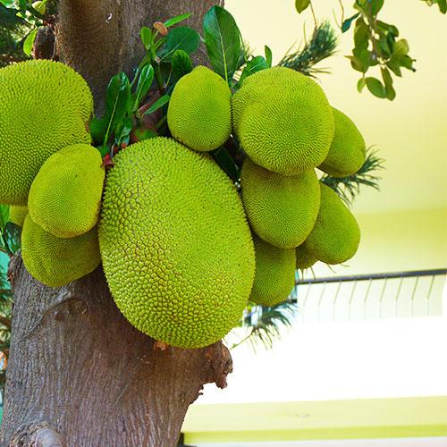 Buy Jackfruit / Kathal - Nursery Nisarga