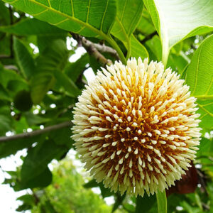 Buy Kadamb, Neolamarckia cadamba plant - Nursery Nisarga