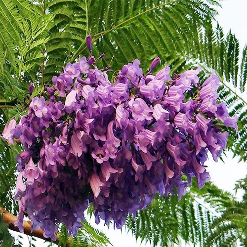 Buy Jacaranda Mimosifolia - Nursery Nisarga
