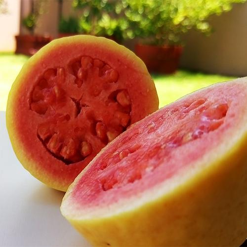 Buy Red Guava plant (Lalit Variety) - Nursery Nisarga