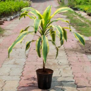 Buy Dracaena Victoria, Dracaena fragrans – Plant online - Nursery Nisarga