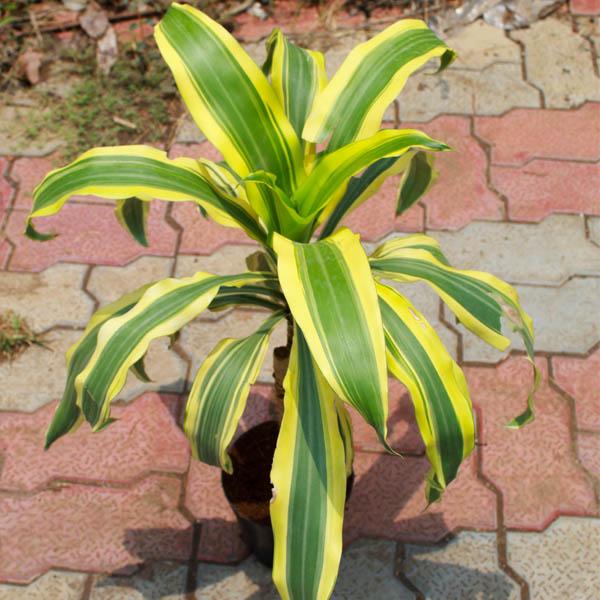 Dracaena Victoria, Dracaena fragrans Plant