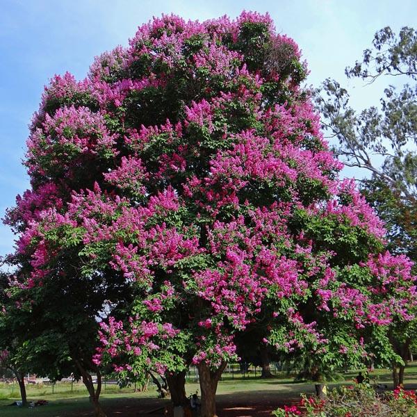 Buy Lagerstroemia Indica, Common Crape Myrtle – Plant - online - Nursery Nisarga