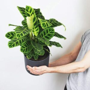 Buy Calathea Zebrina, Zebra plant with premium pot online