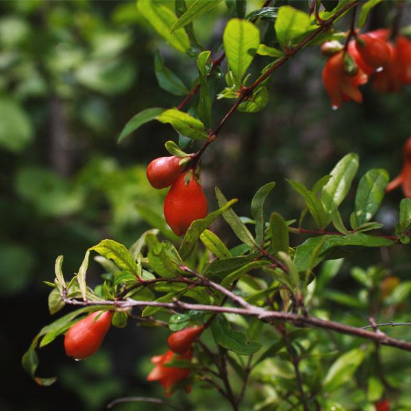 Buy Dwarf pomegranate , Anar plant - online - Nursery Nisarga