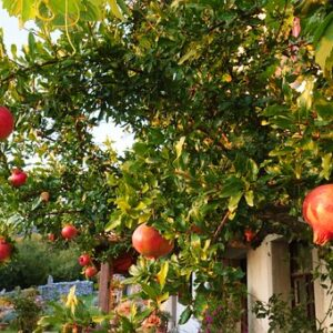 Buy pomegranate plant