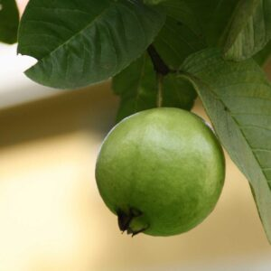 Buy Guava plant, amrood