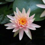 Buy lotus seeds