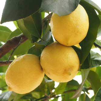 Buy Lemon plant, Nimboo