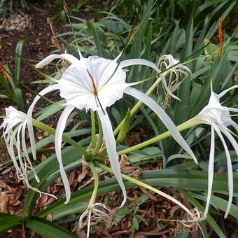 Spider lily, Hymenocallis littoralis