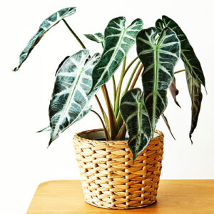 Buy Alocasia Bambino Arrow Plant - Nursery Nisarga