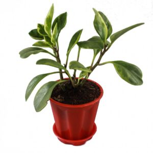 Buy Peperomia plant (Variegated) buy online at Nursery Nisarga